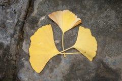在黑暗的岩石的三片金黄银杏树叶子 库存图片