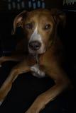 在黑暗的条板箱的狗 免版税库存照片