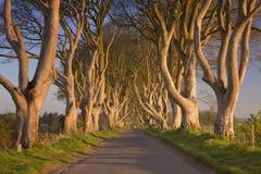 在黑暗的树篱的老树在北爱尔兰 库存图片