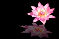 在黑暗的桃红色莲花 免版税库存照片
