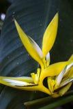 在黑暗的森林背景的黄色圣诞节heliconia 免版税库存照片