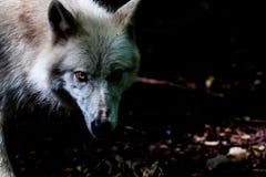 在黑暗的狼 库存图片