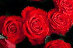 在黑暗的猩红色玫瑰 库存图片