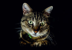 在黑暗的猫 库存照片