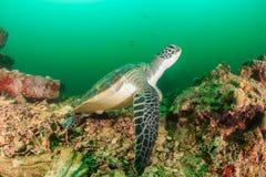 在黑暗的珊瑚礁的绿海龟 免版税库存照片