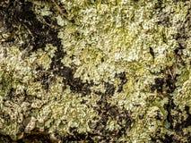 在黑暗的石头的地衣 库存图片