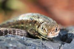 在黑暗的石头的蜥蜴 免版税库存照片