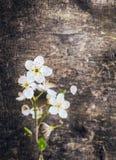 在黑暗的老木背景的樱桃花 免版税库存图片