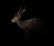 在黑暗的肉猪鹿 库存照片