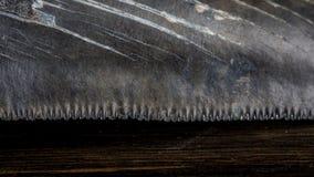 在黑暗的背景的僵化的Megalodon鲨鱼牙 库存图片
