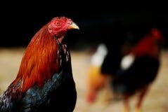 在黑暗的背景的好斗的公鸡 库存照片