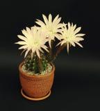在黑暗的背景的开花的仙人掌Echinopsis杂种,被定调子 免版税库存图片
