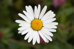 在黑暗的背景的春黄菊 免版税库存图片