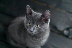 在黑暗的背景的灰色小猫 免版税库存图片