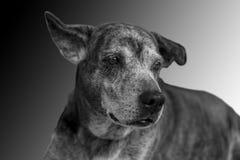 在黑暗的背景的狗 库存图片