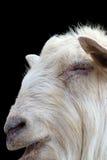 在黑暗的背景的白色公羊画象 库存图片