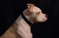 在黑暗的背景的白色大狗 免版税库存图片