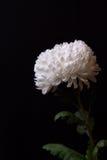 在黑暗的背景的白色菊花 免版税库存照片