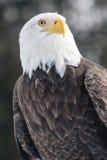在黑暗的背景的白头鹰 免版税库存图片