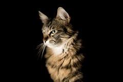在黑暗的背景的美丽的猫 免版税库存图片