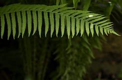 在黑暗的背景的蕨叶子 图库摄影