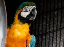 在黑暗的背景的金刚鹦鹉 免版税图库摄影