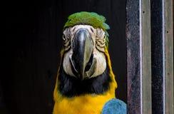在黑暗的背景的金刚鹦鹉 免版税库存照片