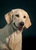 在黑暗的背景的金毛猎犬画象 库存照片