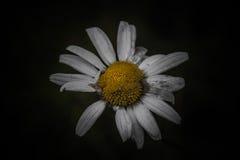 在黑暗的背景的雏菊 免版税库存照片