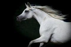 在黑暗的背景的马画象 免版税库存图片