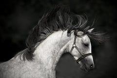 在黑暗的背景的马画象 免版税图库摄影