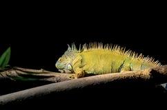 在黑暗的背景的鬣鳞蜥 免版税库存照片
