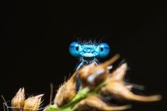 在黑暗的背景的滑稽的微笑的蓝色蜻蜓画象 免版税库存图片
