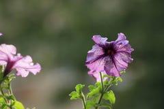 在黑暗的背景的紫色喇叭花 免版税图库摄影