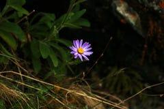 在黑暗的背景的紫色小花 库存照片