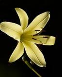 在黑暗的背景的黄色百合 免版税库存照片