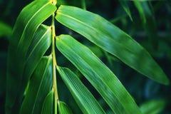 在黑暗的背景的绿色竹叶子 新鲜的绿色叶子 热带的庭院 库存照片
