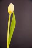 在黑暗的背景的黄色郁金香 库存照片