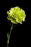 在黑暗的背景隔绝的康乃馨花绽放 免版税库存照片