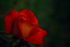 在黑暗的自由背景的一朵红橙色玫瑰 免版税库存照片