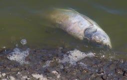 在黑暗的水中漂浮的死的鱼, 库存照片