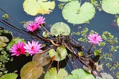 在黑暗的水和绿色叶子的一些朵桃红色莲花 库存图片
