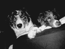 在黑暗的黑白小狗 库存图片