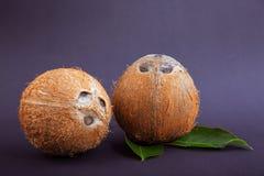 在黑暗的紫色背景的两个椰子 与绿色叶子的成熟和坚硬椰子 自创点心的有机成份 库存图片