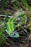 在黑暗的绿蜥蜴 库存图片