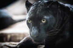 在黑暗的bacground的豹 库存照片