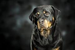 在黑暗的Rottweiler 库存图片