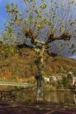 在11月光的悬铃树 图库摄影