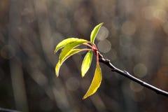在12月太阳的绿色叶子 免版税库存图片