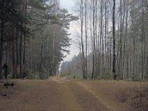 在11月底 杉木森林在明斯克州的Uzdensky区 免版税库存照片